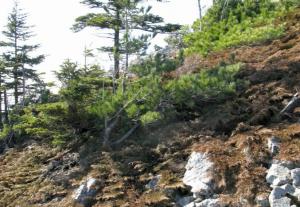 Карликовые деревья Арктики
